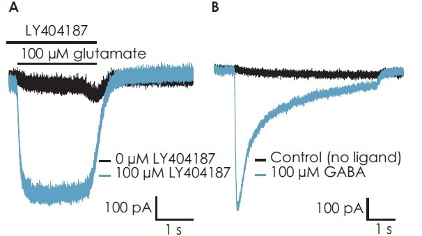 (A) In the presence of the AMPA-specific PAM, LY404187, a response to glutamate in iCell® GlutaNeurons recorded on the Patchliner was seen. (B) GABAA receptor mediated response was recorded on the SyncroPatch 384PE.