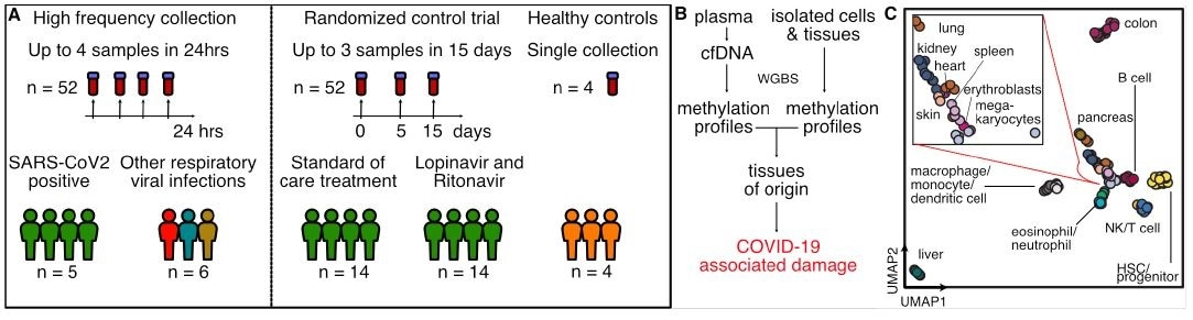 Study design. A) Two independent cohorts were used in our study: First, a high frequency collection cohort with 5 SARS-CoV-2 patients (n = 52 samples) and 6 SARS-CoV-2 negative, RNA-virus positive patients (n = 6 samples). Second, a randomized control trial of 28 SARS-CoV-2 patients with plasma at serial time points (n = 52 samples). 4 healthy individuals volunteered plasma for cell-free DNA analysis. B) Experimental workflow. cfDNA is extracted from plasma and whole-genome bisulfite sequencing is performed. In parallel, methylation profiles of cell and tissue genomes are obtained from publicly-available databases. cfDNA methylation profiles are compared to those of cell and tissue references to infer relative contributions of tissues to the cfDNA mixtures. C) UMAP of differentially methylated regions for isolated cell and tissue types used as a reference.