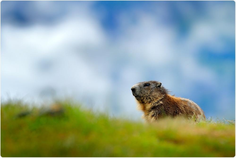 Marmota. Haber de imagen: Ondrej Prosicky/Shutterstock