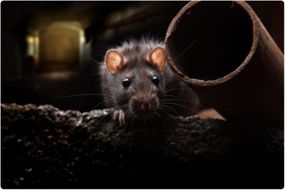 Study: Rats and the COVID-19 pandemic: Early data on the global emergence of rats in response to social distancing. Image Credit: anatolypareev / Shutterstock