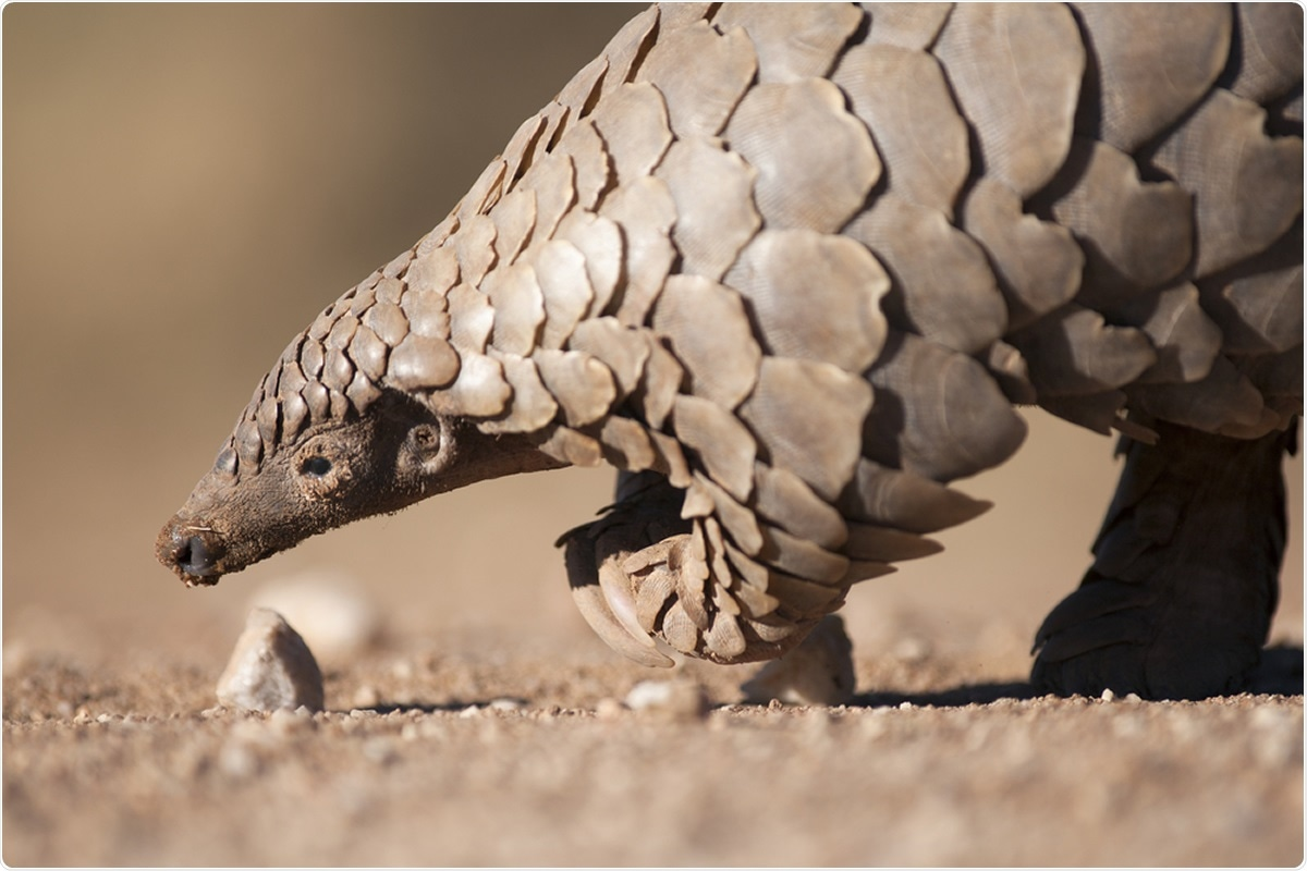 Pangolin foraging for ants. Image Credit: 2630ben / Shutterstock
