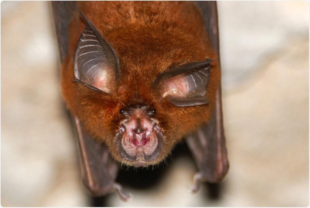 Horseshoe Bat (Rhinolophus sp.) Image Credit: Hugh Lansdown / Shutterstock
