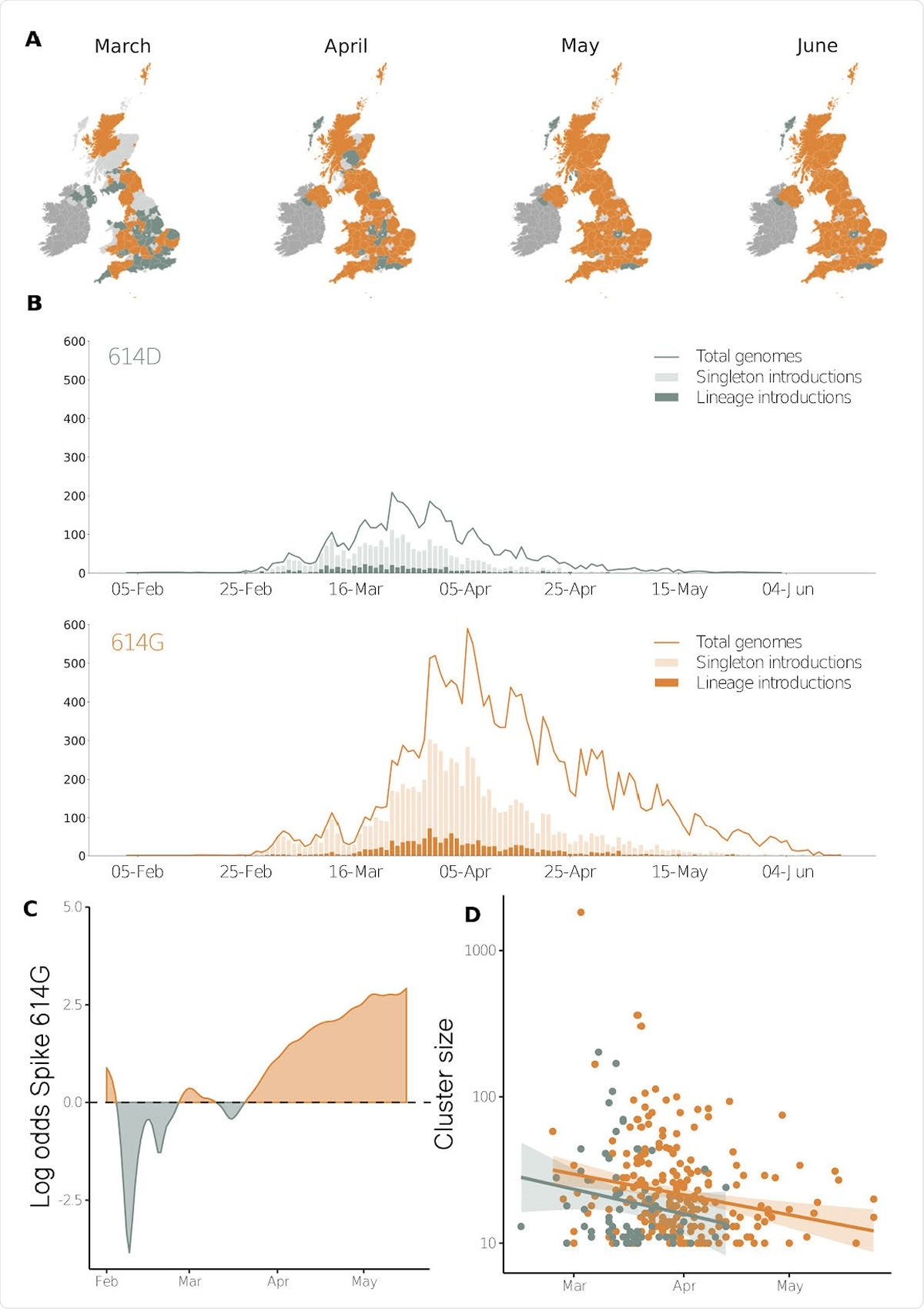 Geographic and temporal distribution of Spike 614 amino acid D or replacement G and time of lineage introductions into the United Kingdom. A) Shaded regions show the predominant residue in each region on the 15th of each month for March, April, May and June 2020, with orange indicating that 614G was more sampled and green indicating that 614D was more sampled, or that they were equally sampled. Light grey indicates that no sequences had been sampled by that point in time, and dark grey indicates the Republic of Ireland. B) The time when an introduction is first detected in the United Kingdom for Spike variants 614D and 614G. Singleton introductions are sampled exactly once and not observed subsequently, and lineage introductions gave rise to multiple sampled genomes. Solid lines show the total number of sequences collected by day of each 614 variant. C) The log odds of sampling a Spike 614G variant over time. D) The size of cluster versus time of first sample collected within a cluster.