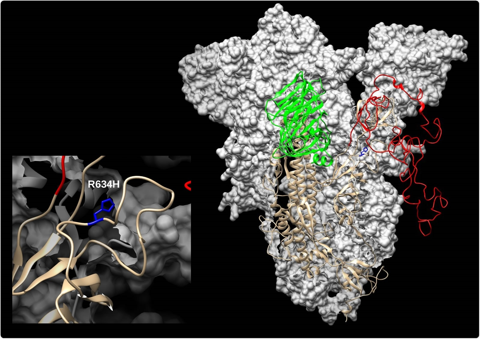 SARS-CoV-2 spike (S) modelled with SWISS-MODEL (Waterhouse et al., 2018) using 6ZGH structure as a template, drawn and colored in UCSF Chimera (Pettersen et al., 2004). N-terminal domain (NTD) is colored green and Receptor-binding domain/Cterminal domain (RBD/CTD) is red. The enlarged inset shows the location of R634H mutation (blue).