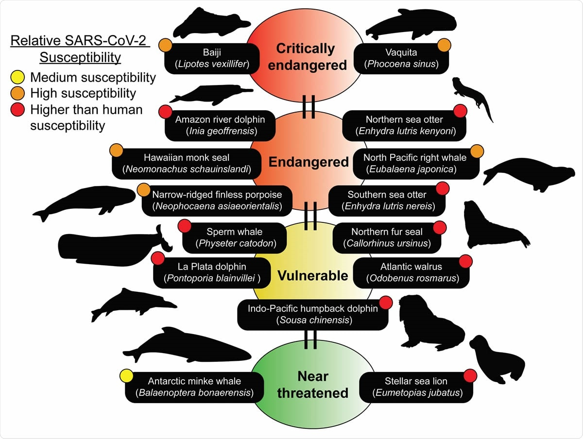 2. Marine mammal species predicted to be susceptible belong to the IUCN Red list. Many of the species predicted to be susceptible are members of the IUCN Red list of Threatened Species (https://www.iucnredlist.org). The IUCN Red list is an indicator of the world's biodiversity and provides the most comprehensive data on the global conservation status of a species. 15 susceptible species ranging from medium to higher than human predicted susceptibilities can be identified on the IUCN Red list. Conservation statuses updated as of July 25th, 2020 were used. Silhouettes of species were drawn or obtained from PhyloPic (http://phylopic.org