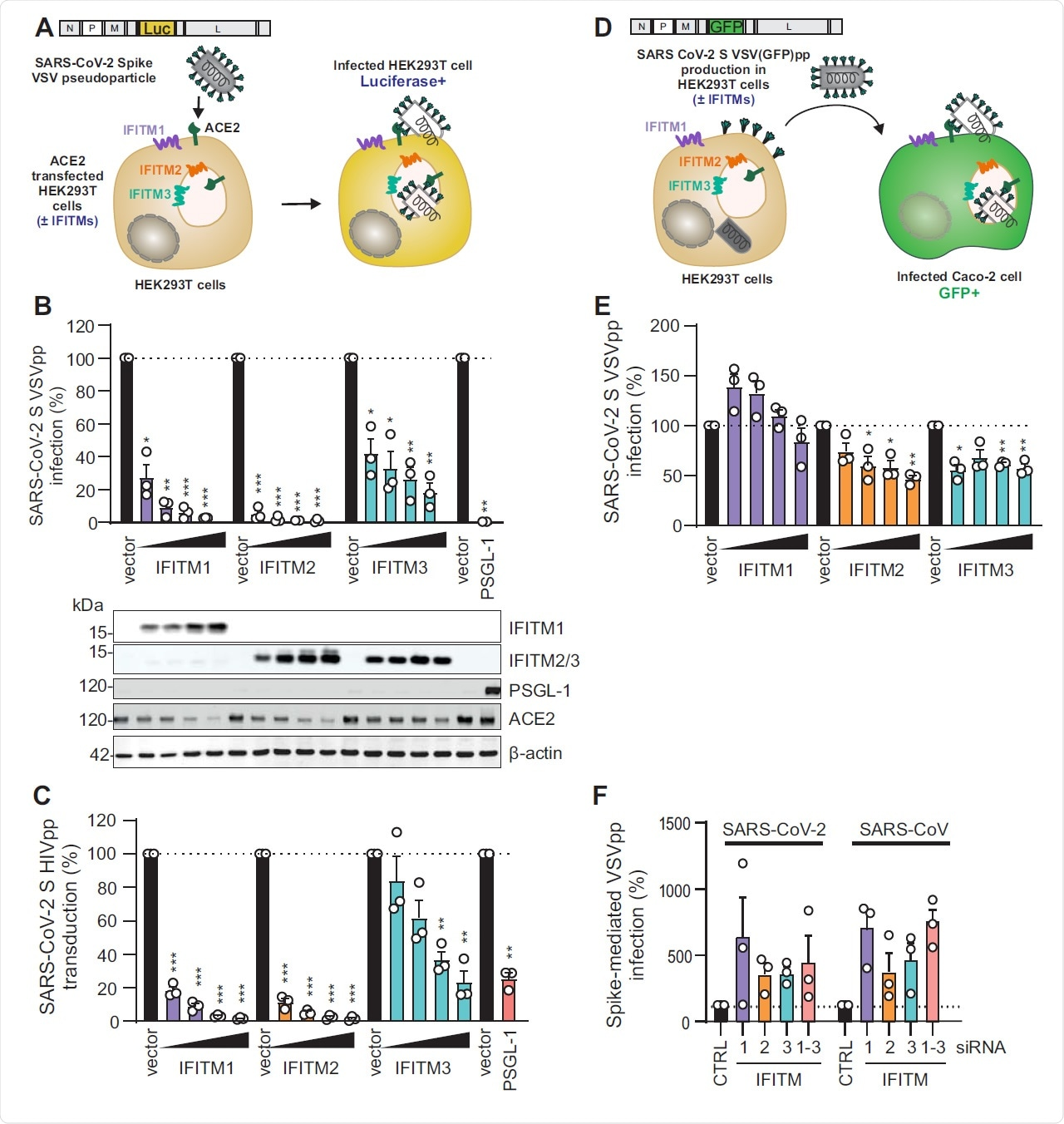 Figure S1 (related to Figure 1). VSV-G-mediated infection by VSVpp is not significantly inhibited by IFITM proteins. (A) Quantification of VSV(luc)ΔG*VSV-G entry by luciferase activity in HEK293T cells transiently expressing indicated proteins and infected 24h post transfection with VSV(luc) ΔG*VSV-G (MOI 0.025) for 16 h. Bars represent means of