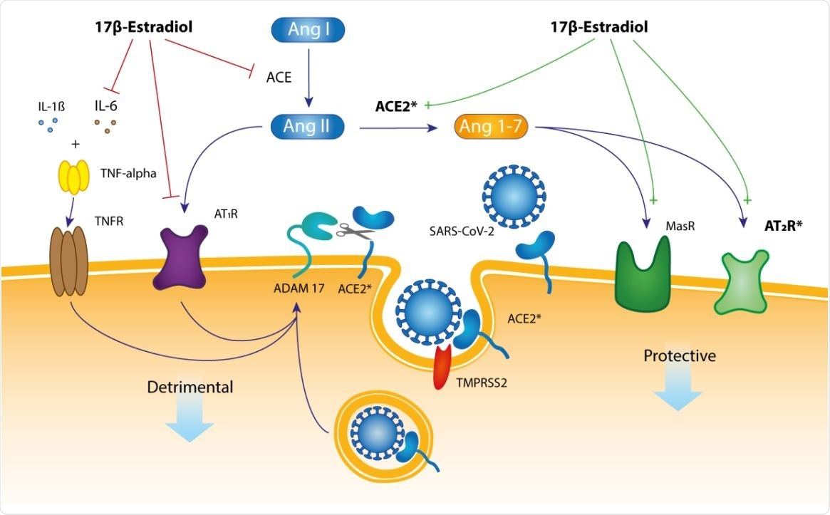 A hypothetical mechanistic pathway for the presumably protective role of 17β estradiol in SARS-CoV-2 infection. The membrane-tethered ACE2 protein has an amino terminal catalytic domain (a peptidase) that faces the extracellular space.