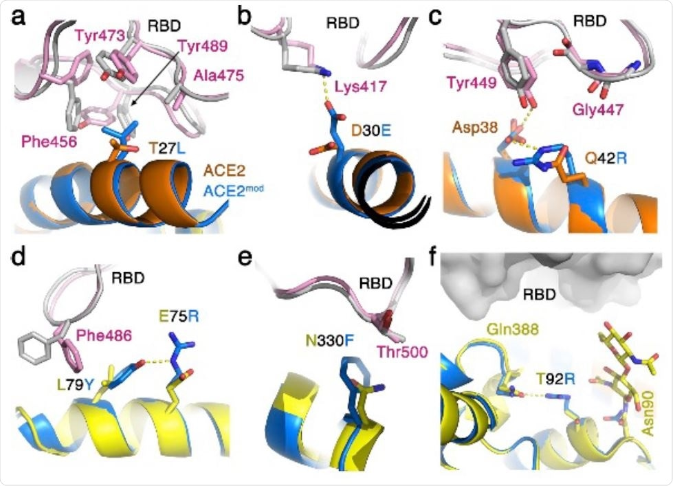 Optimized ACE2 interface for improved binding of SARS-CoV-2. The interfaces of SARS-CoV-2 RBD/human-ACE2 (grey and orange/yellow, respectively) and of the SARS-CoV-2 RBD/modified-ACE2 (pink and light blue, respectively) are shown. a. Leucine, instead of threonine in position 27, makes better Van der Waals interactions with hydrophobic residues on the SARSCoV- 2 RBD. b. Glutamic acid in position 30 of ACE2 can make a salt bridge with Lys417 of SARSCoV- 2, but not an aspartic acid that is present in the human-ACE2. c. Arginine in position 42 can form a salt-bridge with Asp38 of ACE2 to stabilize it in a configuration that allows it to make a hydrogen bond with the hydroxyl of Tyr449 from SARS-CoV-2 RBD. An arginine in this position can also assume a different rotamer that will allow it to form electrostatic interaction with the main-chain carbonyl oxygen of Gly447 of SARS-CoV-2 RBD. d. A double replacement of Leu79 and Glu75 with tyrosine and arginine respectively allows favorable interaction between Phe486 of SARS-CoV-2 RBD and Tyr79 that is stabilized through a hydrogen bond by Arg75. e. Phenylalanine in position 330 of ACE2 is predicted to pack better against the aliphatic portion of Thr500 from SARS-CoV-2 RBD. f. A replacement of Thr92 with arginine abrogates the glycosylation site on Asn90, which bears a glycan that can sterically interfere with the binding of SARS-CoV-2 RBD. An arginine in position 92 of ACE2 can form a hydrogen bond with the nearby Gln388.