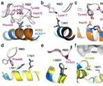 Coronacept - A trap-and-destroy molecule against SARS-CoV-2