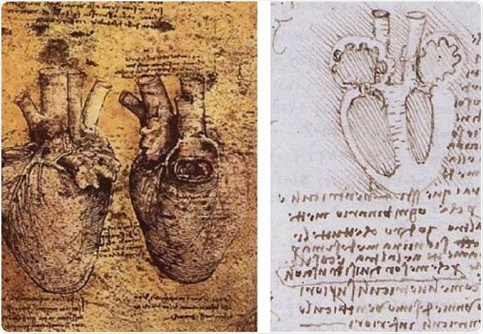 Structures first sketched by artist Leonardo da Vinci are crucial in understanding how the heart works, according to researchers.