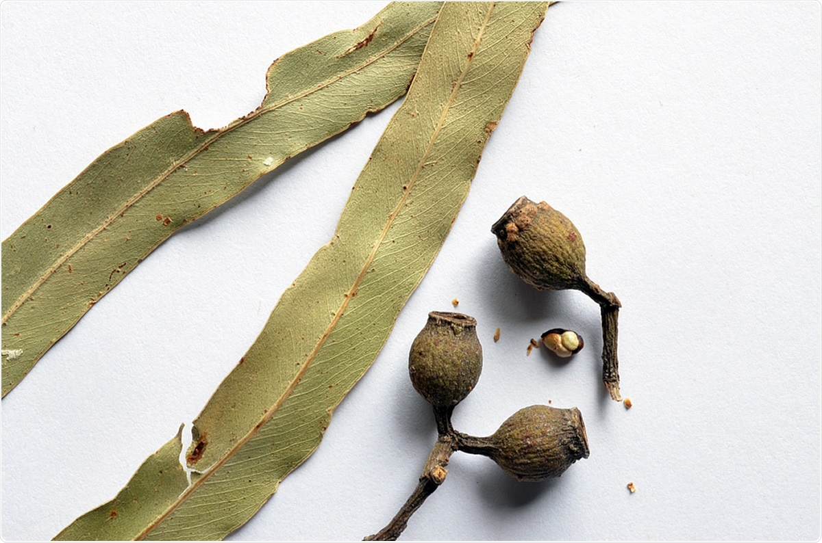 Close-up of gum nuts and citrus scented eucalyptus leaves of the Lemon Scented Gum, Australia (Eucalyptus citriodora) or (Corymbia citriodora). Image Credit: Peter Krisch / Shutterstock