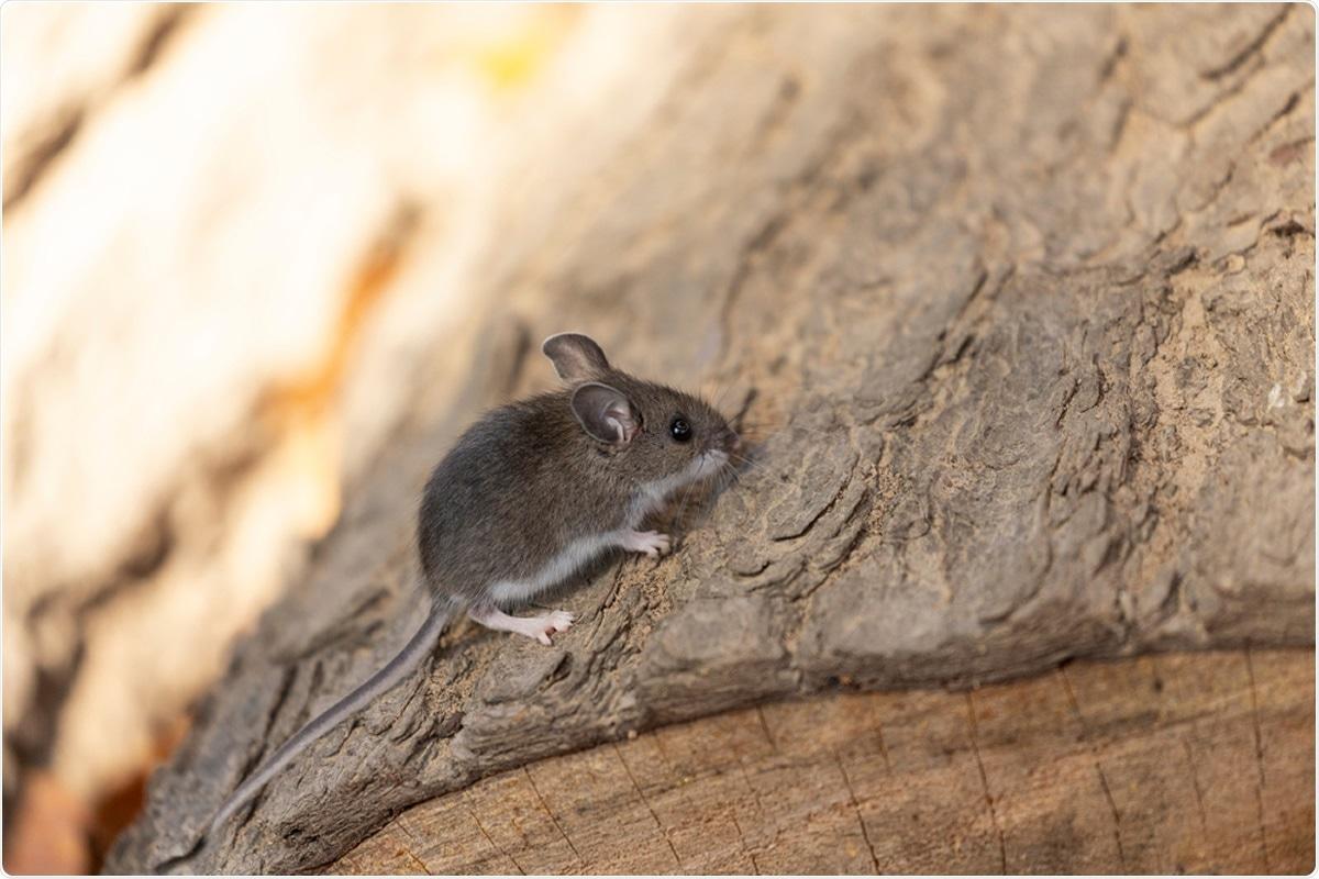Deer mouse (Peromyscus maniculatus). Image Credit: Karel Bock / Shutterstock