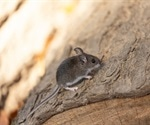 SARS-CoV-2 infection and transmission possible in North American deer mice
