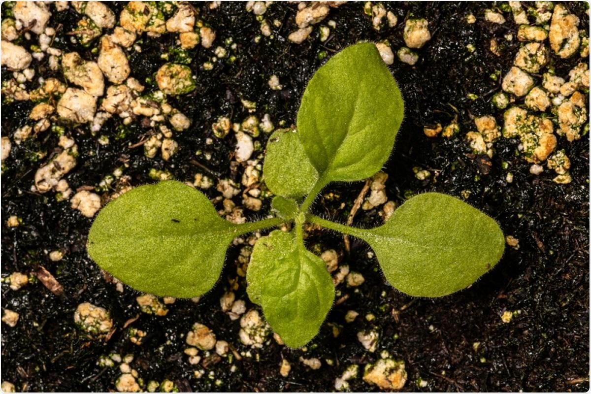 Nicotiana benthamiana. Image Credit: Hanjo Hellmann / Shutterstock