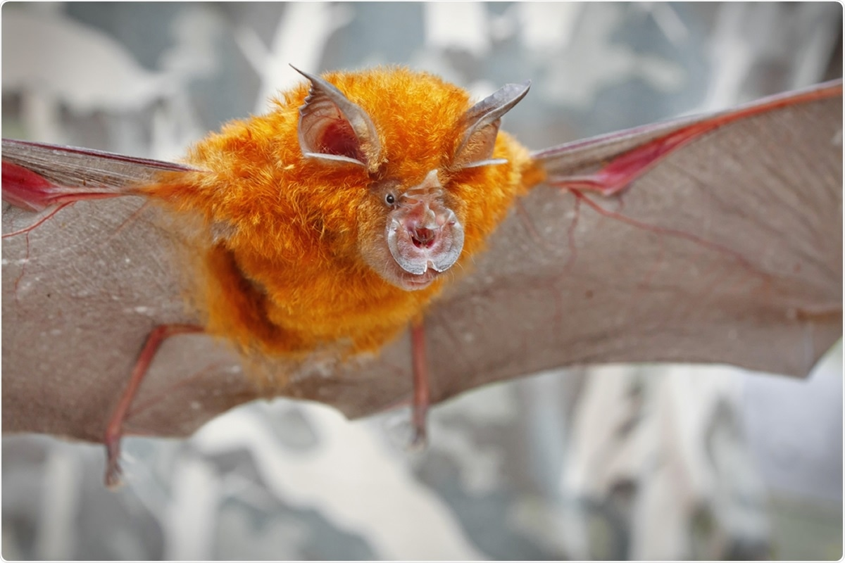 Intermediate Horseshoe Bat (Rhinolophus affinis). Image Credit: Binturong-tonoscarpe / Shutterstock