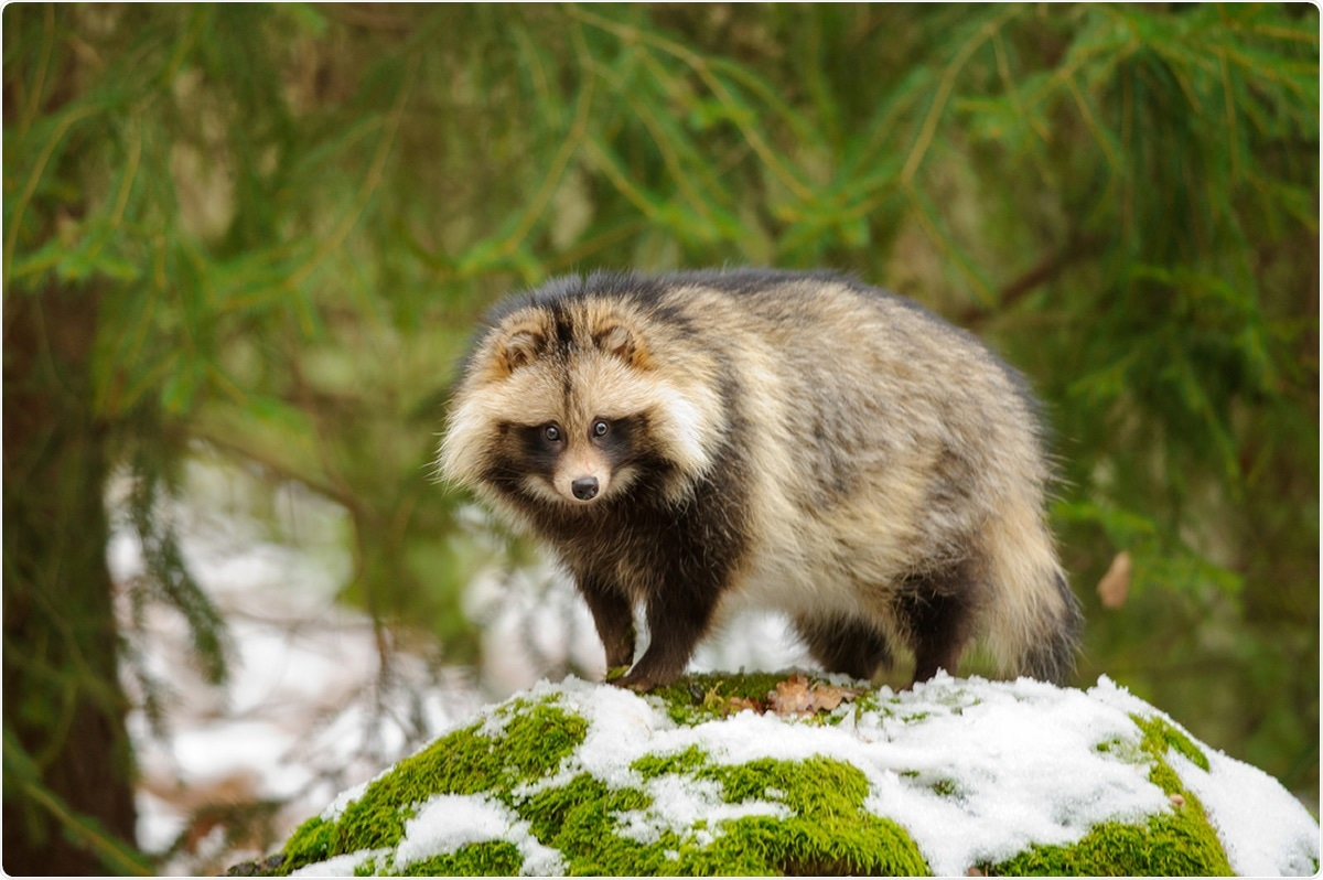 Study: Susceptibility of raccoon dogs for experimental SARS-CoV-2 infection. Image Credit: Stanislav Duben / Shutterstock