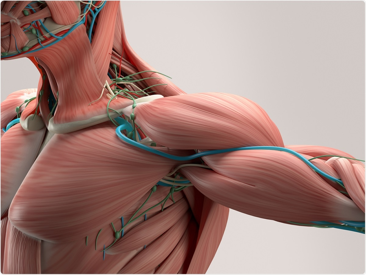 Study: Molecular Transducers of Human Skeletal Muscle Remodeling under Different Loading States. Image Credit: Anatomy Insider / Shutterstock