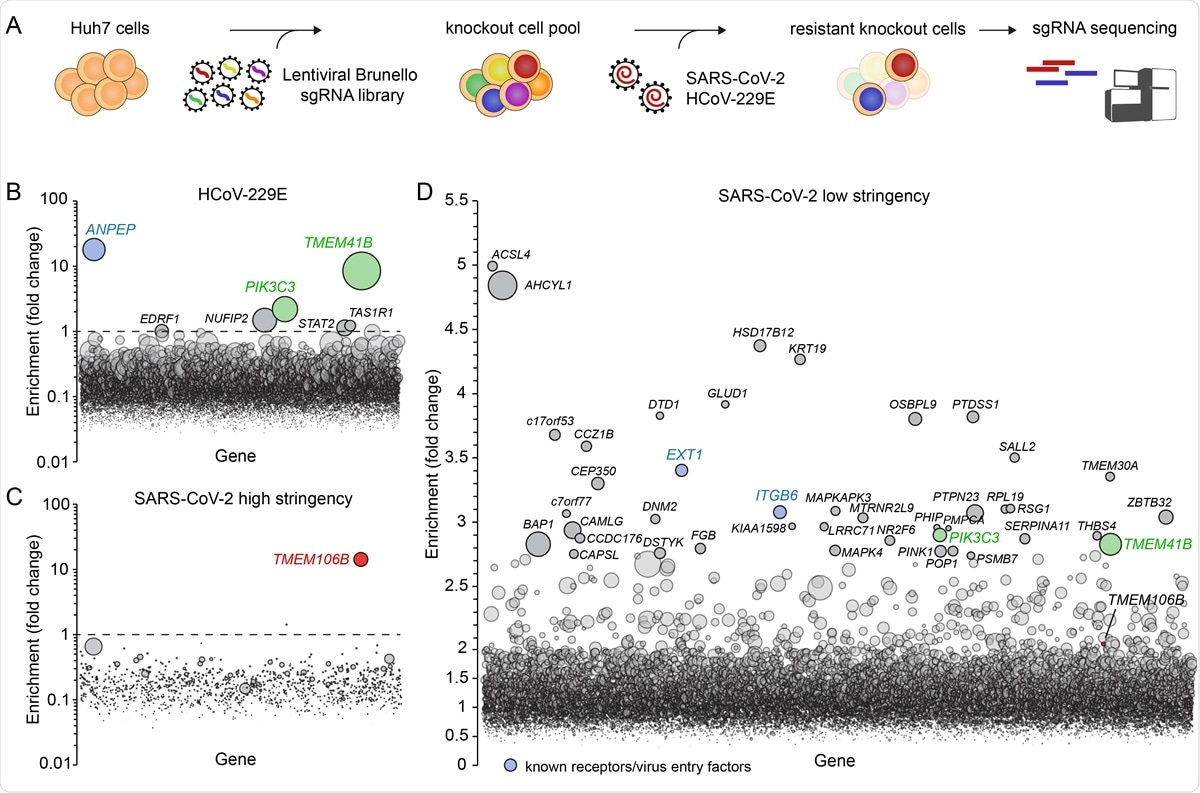 Genome-wide knockout screens in human cells identify 105 host factors for SARS-CoV-2 and HCoV-229E infection. A) Overview of experimental steps performed during a genome-wide screen for coronavirus host factors. B-D) Genome-wide knockout screens were performed in Huh7 cells, with strong selection (high stringency) using HCoV-229E (B) and SARS-CoV-2 (C) or with mild SARS-CoV-2 selection (low stringency) (D). Each circle represents a gene, with size corresponding to significance of enrichment. The y-axis shows the enrichment of sgRNAs after virus selection compared to an uninfected control population (D) or the population on the first day of the screen prior to infection (B and C). Genes distributed on the x-axis in alphabetical order.