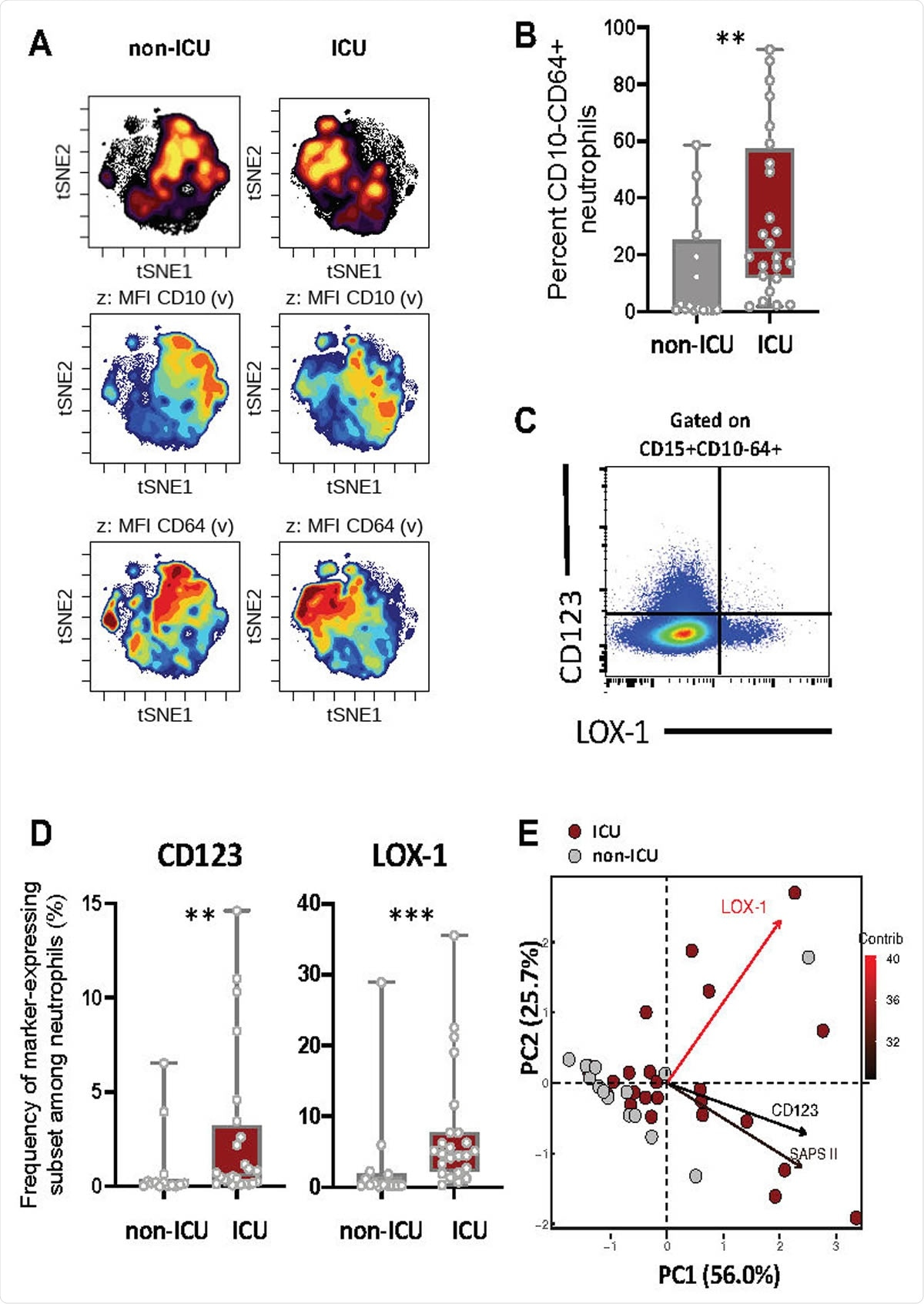 Severe COVID-19 patients displayed increased immature neutrophil subsets expressing CD123 or LOX-1. (A) viSNE analysis was performed on neutrophils from all samples with cells organized along t-SNE-1 and t-SNE-2 according to per-cell expression of CD15, CD10, CD64, LOX-1, CD123 and PD-L1. Cell density for the concatenated file of each patient's group (ICU vs Non-ICU) is shown on a black to yellow heat scale. Neutrophils' CD10, CD64 markers expression is presented on a rainbow heat scale in the t-SNE map of each group concatenated file. (B) Box plots representation (min to max distribution) of CD10- CD64+ neutrophil subset abundancy among total neutrophils of each group samples. (C) Representative expression of LOX1 and CD123 on CD10- CD64+ neutrophils. (D) Abundancy of CD10- CD64+ neutrophil expressing CD123 or LOX-1 in ICU and non-ICU patients' groups. identify the median and min to max distribution. Nonparametric Mann-Whitney test was used to compare differences in cellular abundance of neutrophil subsets between groups, with significance defined by a p-value < 0.05: * for p < 0.05; ** for p < 0.01; *** for p < 0.001. (E) Principal component analysis (PCA) using LOX-1+, CD123+ CD10- CD64+ neutrophil abundancy and SAPS II variables on sample sizes: