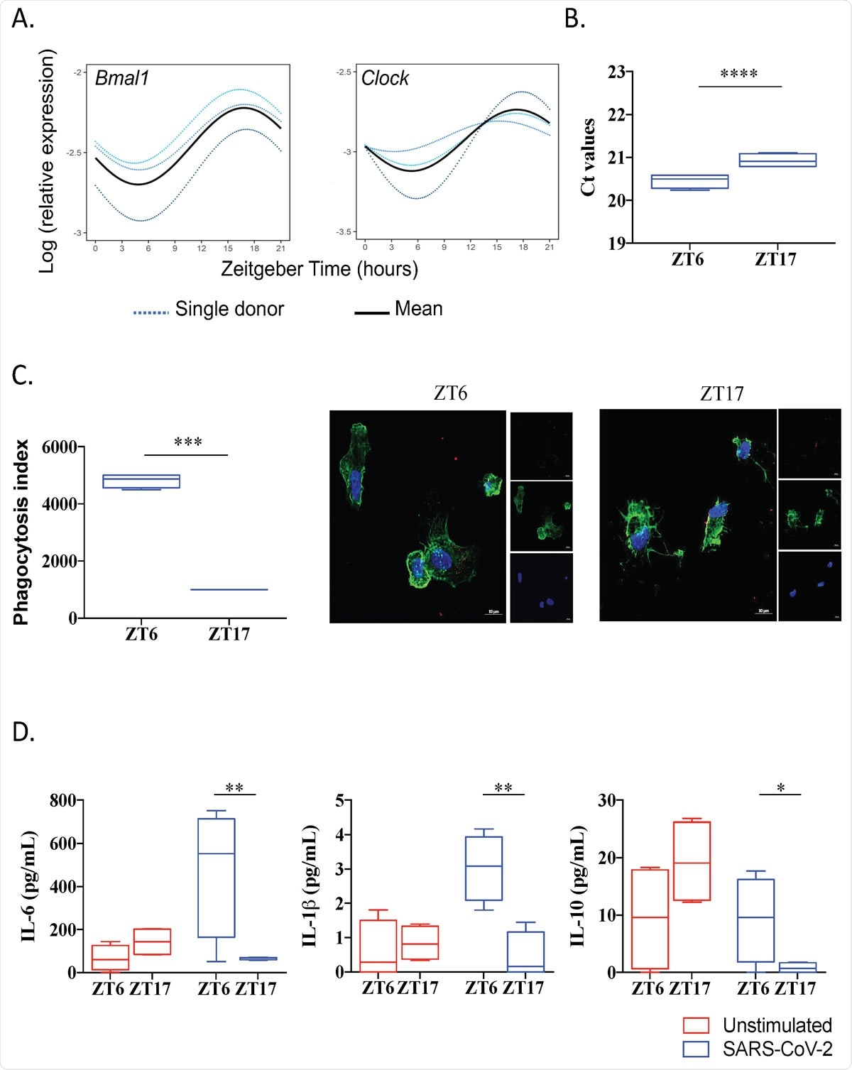 SARS-CoV-2 infection is link to circadian rhythm (A) Circadian rhythm of BMAL1 and CLOCK genes in monocyte using Cosinor model. (B) Virus load at ZT6 and ZT17 time. (C) Phagocytosis index and representative pictures of monocytes (F259 actin in green and nucleus in blue) infected by SARS-CoV-2 virus (red). (D) Level of IL-6, IL-1 and IL-10 of unstimulated (red) and infected cells at ZT6 and ZT17.