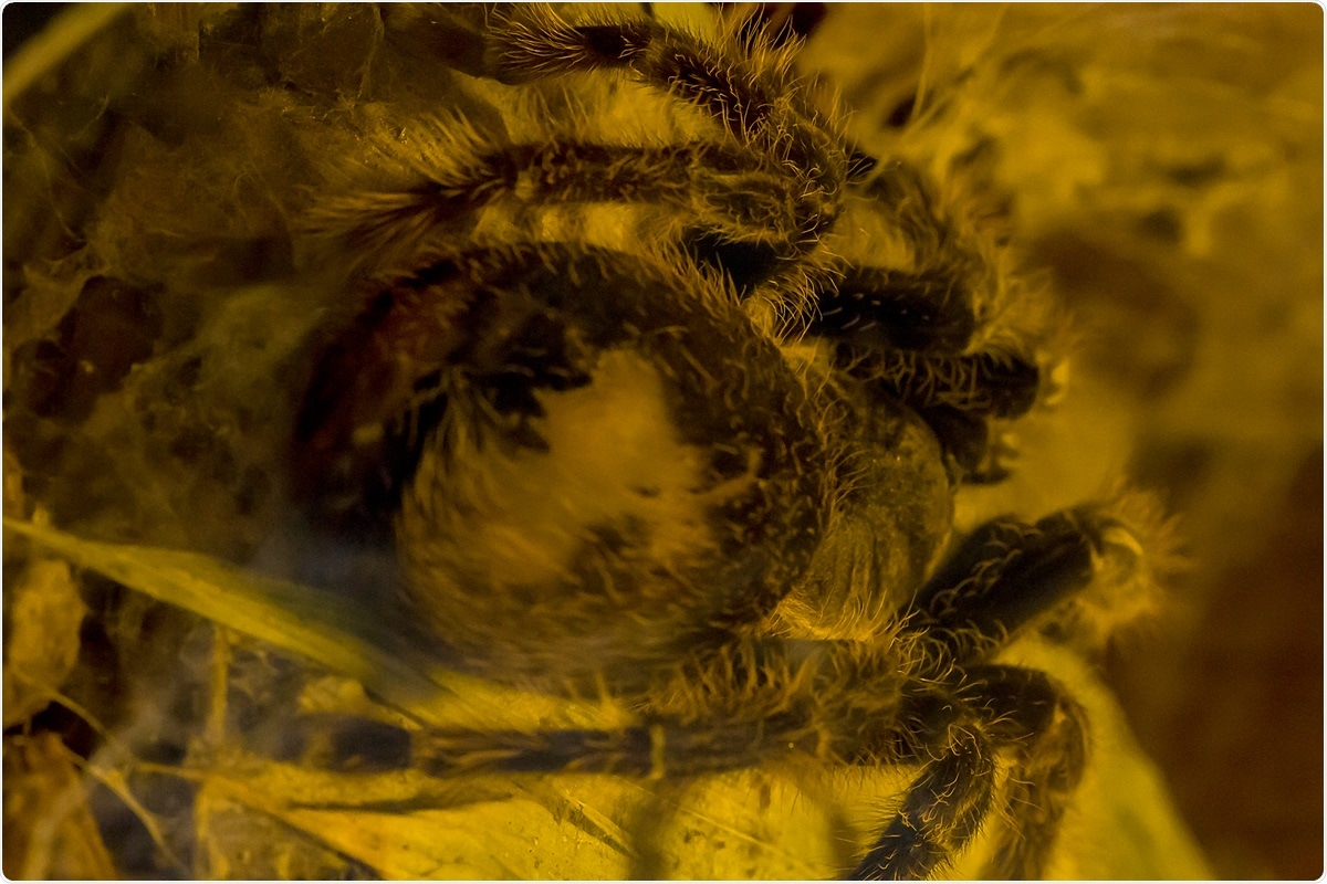 The Pinkfoot Goliath Tarantula is one of the largest spiders in the world. Image Credit: PURIPAT PENPUN / Shutterstock