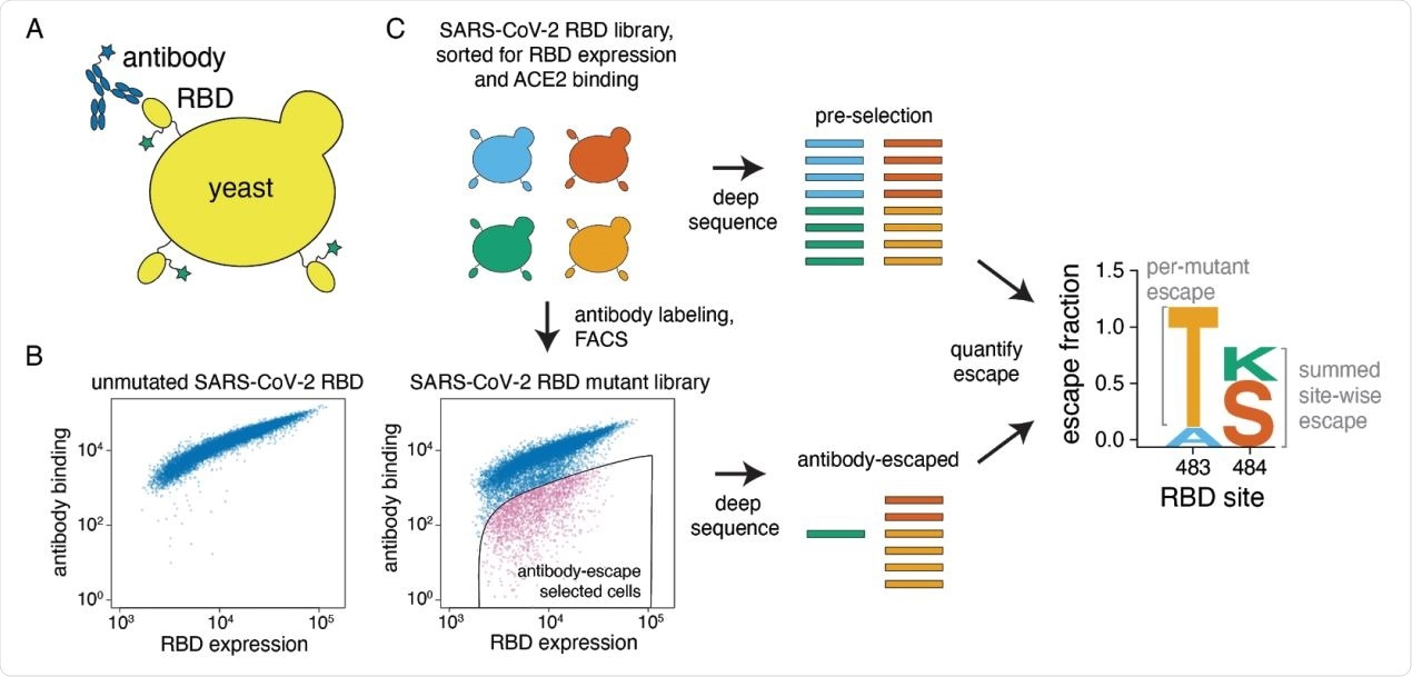 "A yeast-display system to completely map SARS-CoV-2 RBD antibody escape mutations. (A) Yeast display RBD on their surface. The RBD contains a c-myc tag, enabling dual-fluorescent labeling to quantify both RBD expression and antibody binding of RBD by flow cytometry. (B) Per-cell RBD expression and antibody binding as measured by flow cytometry for yeast expressing unmutated RBD and one of the RBD mutant libraries. (C) Experimental workflow. Yeast expressing RBD mutant libraries are sorted to purge RBD mutations that abolish ACE2 binding or RBD folding. These mutant libraries are then labeled with antibody, and cells expressing RBD mutants with decreased antibody binding are enriched using FACS (the ""antibody-escape"" bin; see Figure S1 for gating details). Both the initial and antibody-escape populations are deep sequenced to identify mutations enriched in the antibody-escape population. The deep-sequencing counts are used to compute the ""escape fraction"" for each mutation, which represents the fraction of yeast cells with a given RBD mutation that falls into the antibody-escape sort bin. The escape fractions are represented in logo plots, with tall letters indicating mutations that strongly escape antibody binding."