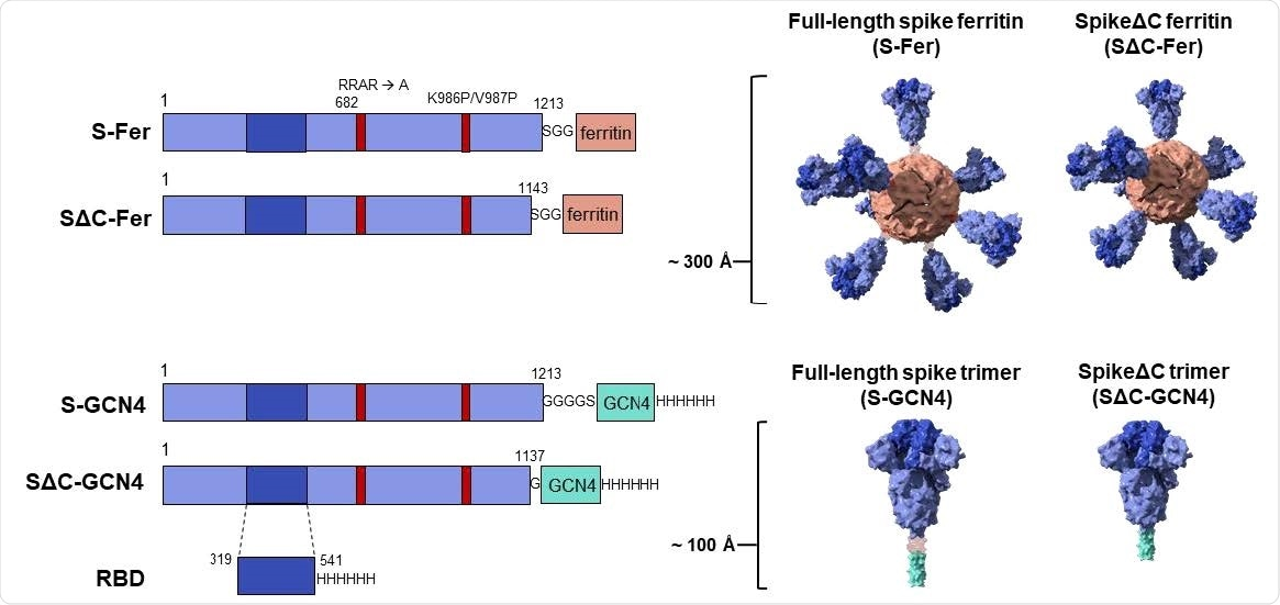 Construct design for SARS-CoV-2 spike-functionalized ferritin nanoparticles. All constructs are based on the Wuhan-Hu-1 amino acid sequence (GenBank MN9089473) of SARS-CoV-2 spike. Spike-functionalized ferritin constructs were made by fusing spike ectodomain (residues 1-1213) or spikeΔC (residues 1-1143) to the H. pylori ferritin subunit separated by an SGG linker. A structural representation based on the spike trimer cryo-EM structure (PDB 6VXX) and the H. pylori ferritin crystal structure (PDB 3BVE) depicts the 24-subunit particle displaying spike or spikeΔC on the surface. The estimated size of the spike-functionalized ferritin particles based on structural data is ~ 300 Å. The S-GCN4 and SΔC-GCN4 trimer constructs were made by fusing either the full-length spike residues (1-1213) or spikeΔC (1-1137) to a modified GCN4 trimerization domain followed by a hexahistidine tag. A structural representation of the spike trimers based on the cryo-EM structure (PDB 6VXX) is shown with an estimate length of ~ 100 Å. The RBD spans residues 319-541 of the spike protein and is preceded by the native signal peptide (not shown) and followed by a hexahistidine tag.