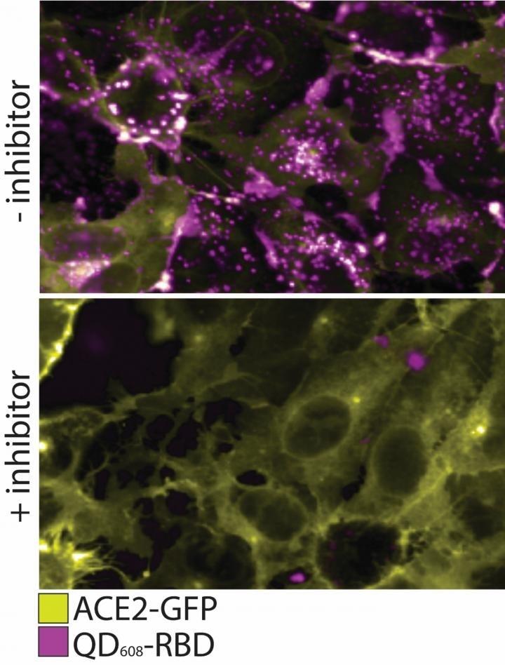 Les chercheurs développent les sondes non contagieuses de nanoparticle pour étudier SARS-CoV-2