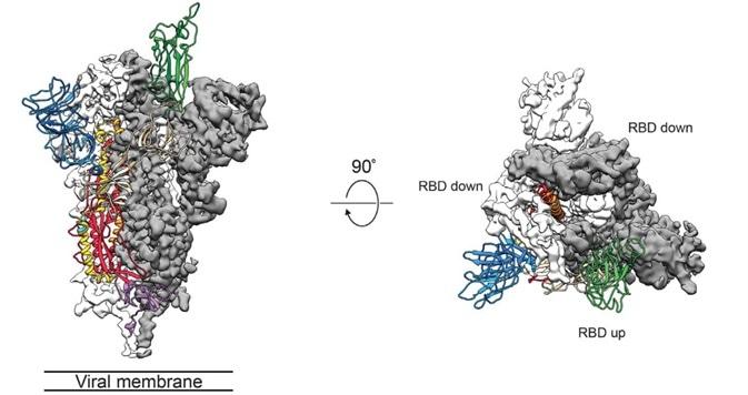 Cryo-EM of Spike protein.