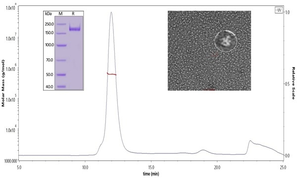 The purity of SARS-CoV-2 S protein, His Tag, Super stable trimer (Cat. No. SPN-C52H9) was more than 90% verified by SDS-PAGE under reducing (R) condition. The molecular weight was around 550-660 kDa confirmed by SEC-MALS. The particles are similar in size and appearance to SARS-CoV-2 trimers reported in published literature verified by negative stain electron micrography.