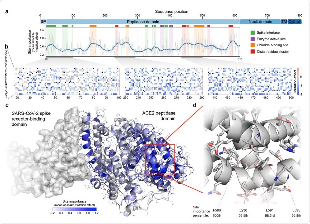 Large-scale mutagenesis of ACE2's peptidase domain. (a) Analysis of how amino acid substitutions across positions 18-615 affect binding of the SARS-CoV-2 spike protein. The plot quantifies the importance of each site by taking the mean of the absolute value of all mutation effects observed at that site. The grey line represents the mean absolute value of the mutation effect and the blue line shows the moving average to highlight general regions of ACE2 that are important for binding. Key structural landmarks are highlighted with shaded regions along the length of the sequence. (b) Mutation effect heat maps for three different regions of ACE2. Red denotes mutations that increase ACE2 spike binding; blue denotes reduced binding. Overall, we observe the effects of 3571 amino acid substitutions across 597 positions in ACE2's peptidase domain. (c) The mean absolute mutation effect mapped onto the threedimensional ACE2 structure (PDB ID: 6LZG). Residues near the spike interface are important for binding, in addition to many sites located on the distal lobe of the protein domain. (d) The most important region of ACE2 structure is composed of a tightly packed cluster of residues located over 30 Å from the spike interface.