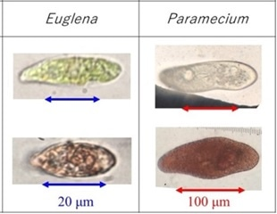 Researchers use natural pigment for screening cell viability
