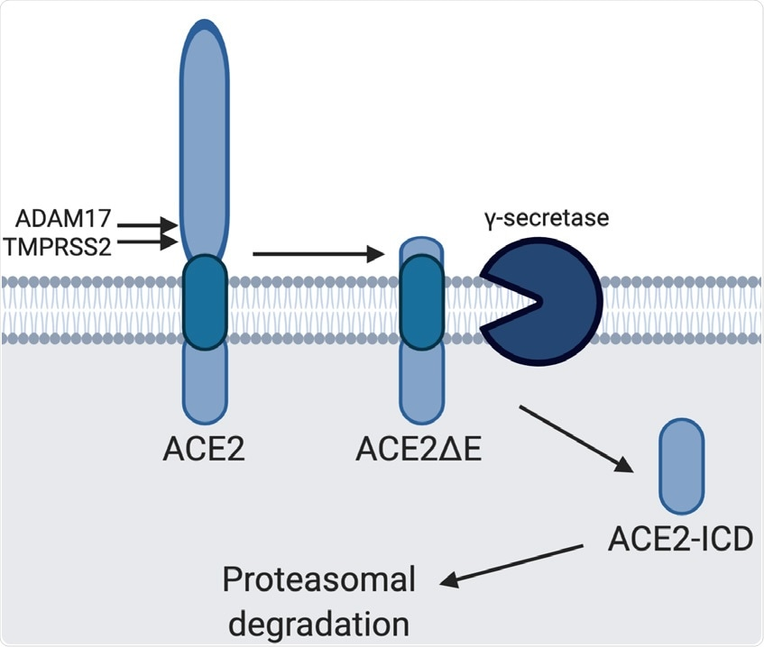Model of ACE2 cleavage. Model showing the sequential processing of full length ACE2 by ADAM17/TMPRSS2 and γS, rendering ACE2ΔE and ACE2-ICD, respectively. ACE2-ICD is then rapidly degraded in the proteasome.