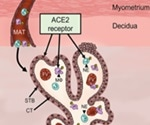Maternal immune cells could bring SARS-CoV-2 to the placenta