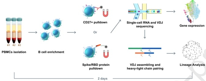 Illustration of RBD binding B cells enrichment using RBD and S protein pre-coupled magnetic beads.