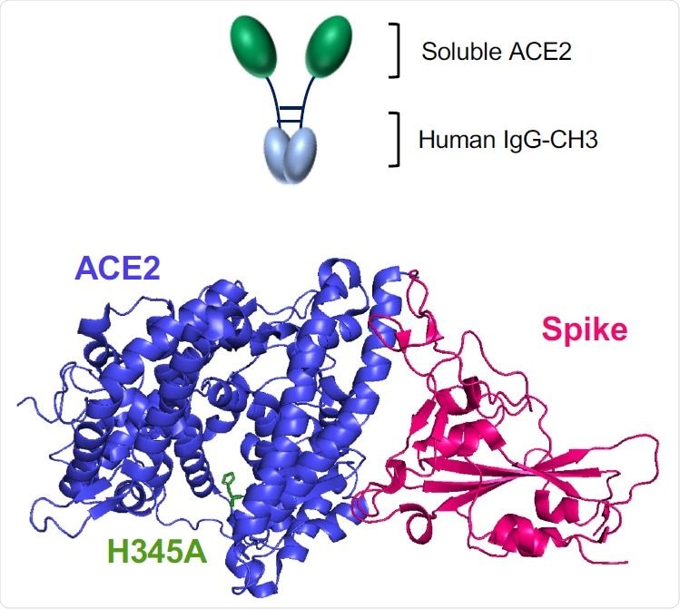 Wild-type and H345A ACE2 microbody proteins are disulfide bonded dimers. (A) The domains of ACE2 are shown with the structures of the soluble ACE2 (sACE2), ACE2 microbody and ACE2.H345A microbody proteins below. The soluble ACE2 proteins are deleted for the transmembrane (TM) and cytoplasmic domains. The ACE2 microbody proteins are fused to the human IgG CH3 domain each with a carboxyterminal 8XHis-tag. IC: intracellular domain.