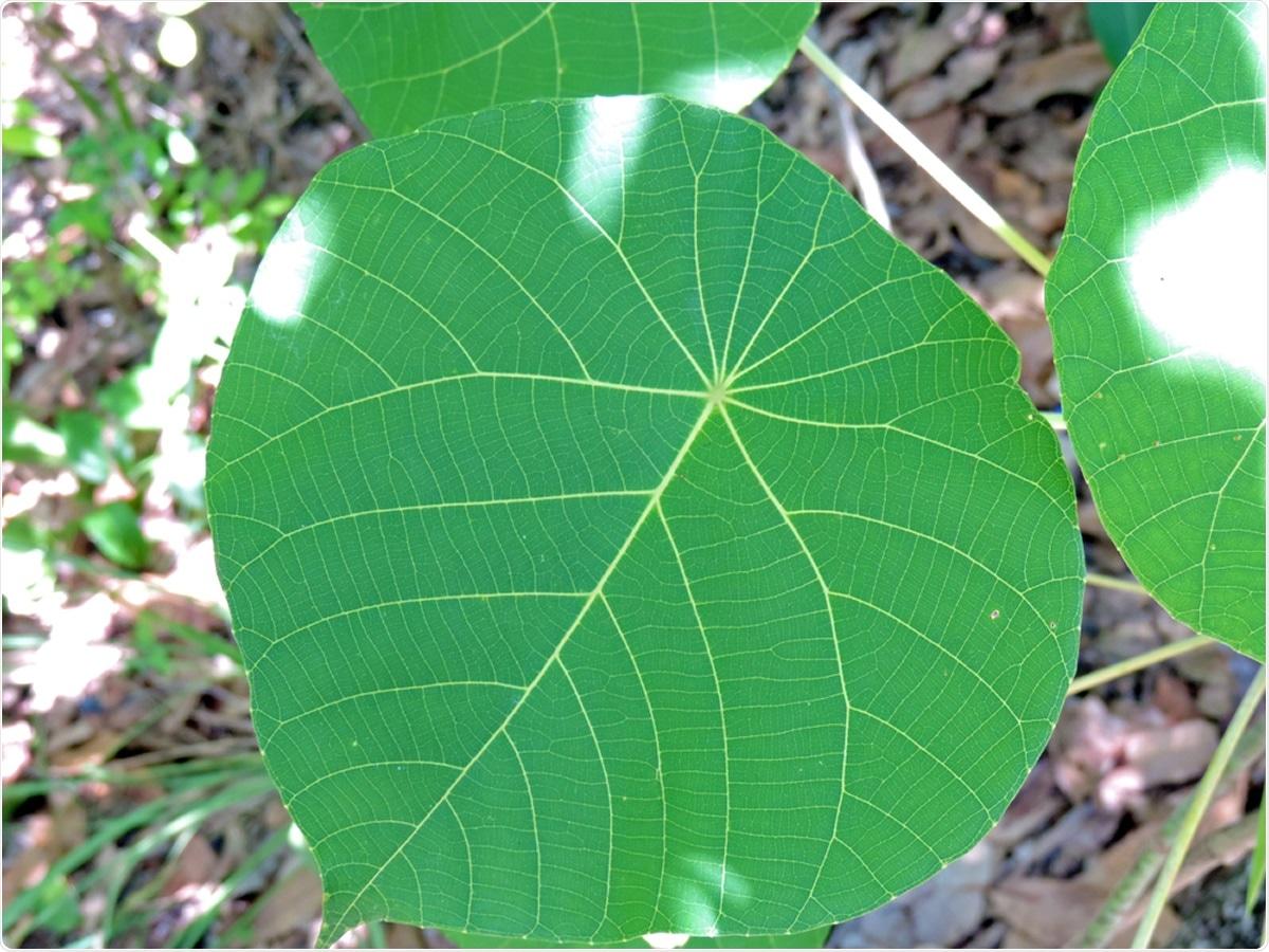 Chiuda su della foglia in forma di cuore del più tossico delle specie australiane di moroides brucianti di Dendrocnide degli alberi, anche conosciute come la spazzola bruciante, stinger del gympie, impianto di luce della luna tra l