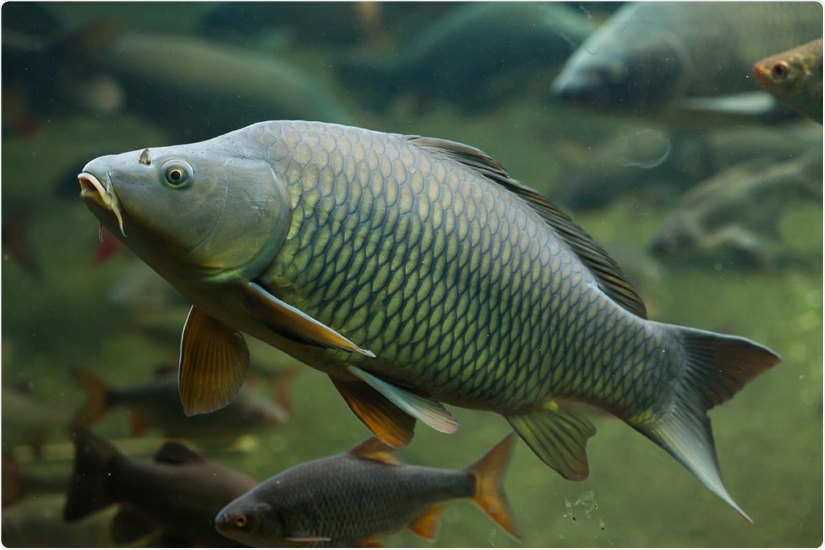 Wild common carp (Cyprinus carpio). Image Credit: Vladimir Wrangel