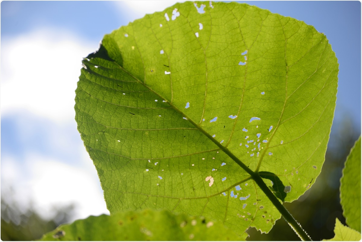 Leaves of the fearsome giant stinging tree, Dendrocnide excelsa. Image Credit: Lakeview Images
