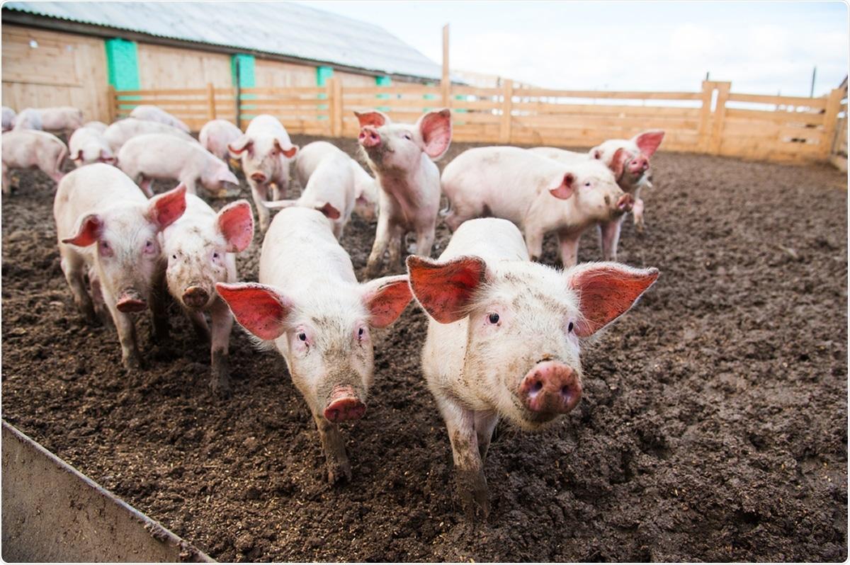 Étude : Susceptibilité des porcs domestiques à l