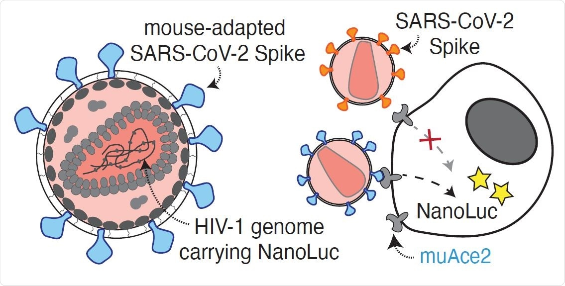 Antibody potency against the mouse adapted SARS-CoV-2 spike. A. Diagram of the mouse-adapted (MA) SARS-CoV-2 pseudovirus luciferase assay. SARS-CoV- 2 mouse-adapted spike (SARS-CoV-2 S-MA) pseudotyped HIV-1 particles carrying the nanoluc gene are used to infect murine (mu) Ace2-expressing HT1080 cells, which will express nanoluc luciferase upon infection, while SARS-CoV-2 spike (wtS) pseudotyped particles are unable to infect muAce-expressing cells.
