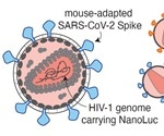 Optimal antibody combinations and Fc binding inhibit SARS-CoV-2 in vivo