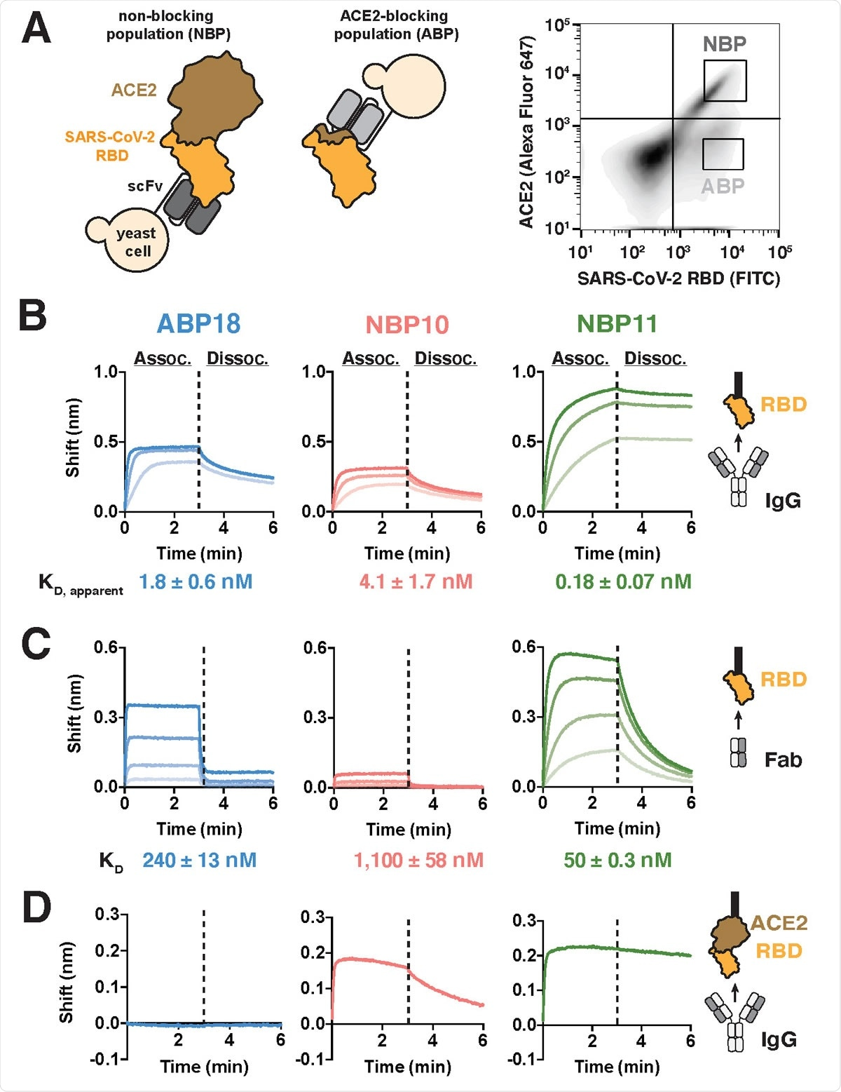 A human naïve antibody library yields antibodies targeting the SARS-CoV-2 RBD (A) Left, selection scheme to isolate an ACE2-blocking population (ABP) and a nonblocking population (NBP) of antibodies. Right, flow cytometry panel of yeast display library with gates used to isolate the ABP and NBP. (B-C) Binding to SARS-CoV-2 RBD-coated BLI biosensors show substantial differences between (B) IgG antibodies (100, 33.3, and 11.1 nM) and (C) Fab antibody fragments (ABP18/NBP11: 500, 167, 56, 18 nM; NBP10: 720, 240, 80, 27 nM). Higher antibody concentrations are indicated with thicker lines. (D) Binding of 100 nM IgG antibodies to BLI biosensors coated with ACE2:RBD complex shows that NBP10 and NBP11 IgG retain binding while ABP18 shows no binding, consistent with ACE2-blocking activity.