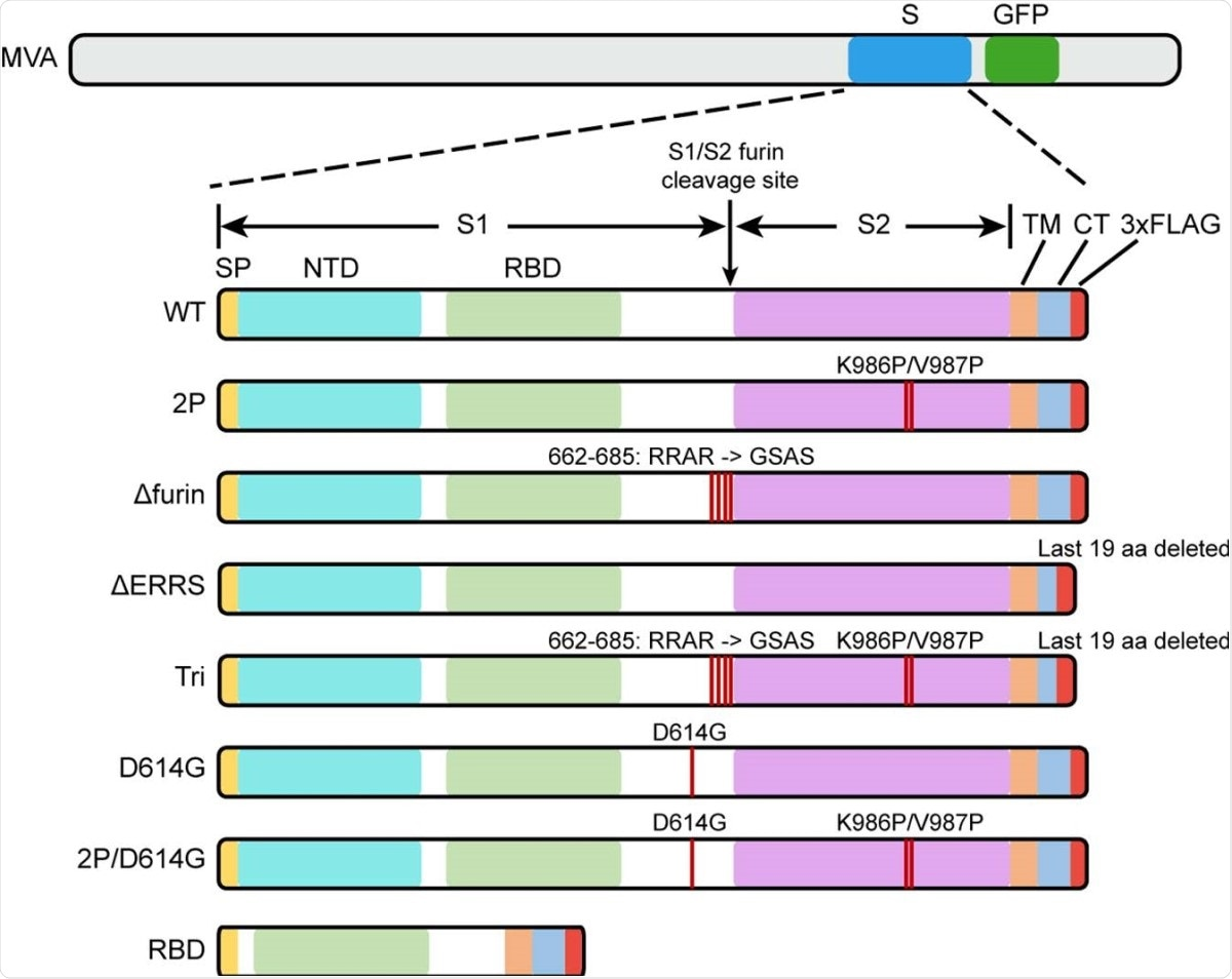 Diagrams of rMVAs. Top shows approximate locations of CoV-2 spike protein (S) and green fluorescent protein (GFP) ORFs within rMVA. Modifications of S ORF are shown below with names of constructs on the left. Abbreviations: SP, signal peptide; NTD, N-Terminal domain; TM, transmembrane domain; CT, C-terminal domain; RBD, receptor binding domain; 3xFLAG, 3 tandem copies of FLAG epitope tag.