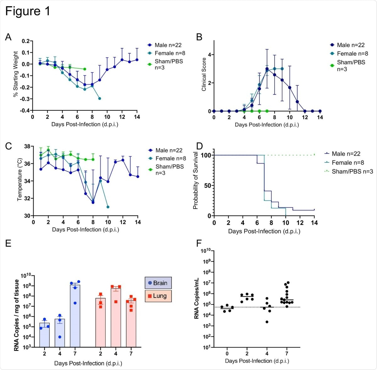 SARS-CoV-2 caused lethal disease in K18-hACE2 mice (n=33) inoculated intranasally with 1 x 106 plaque forming units (PFU). Body weight (A), clinical signs (B), temperature (C), and mortality (D) were monitored daily. Viral loads (genome copy numbers/mg or ml) were monitored in the brain, lungs (E) and serum (F) throughout the study. Mean genome copy numbers are depicted. The limit of detection (LOD) is shown with a dashed line.