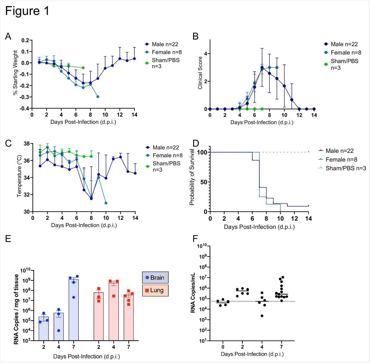 El SARS-CoV-2 provocó una enfermedad letal en ratones K18-hACE2 (n = 33) inoculados por vía intranasal con 1 x 106 unidades formadoras de placa (PFU).  Se controlaron diariamente el peso corporal (A), los signos clínicos (B), la temperatura (C) y la mortalidad (D).  Las cargas virales (número de copias del genoma / mg o ml) se controlaron en el cerebro, los pulmones (E) y el suero (F) durante todo el estudio.  Se representan los números medios de copias del genoma.  El límite de detección (LOD) se muestra con una línea discontinua.