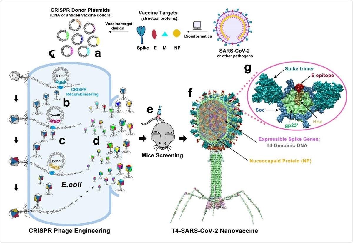 Progettazione del nanovaccine T4-SARS-CoV-2 da assistenza tecnica di CRISPR. DNAs costruito che corrisponde alle varie componenti del virion SARS-CoV-2 è incorporato nel genoma del batteriofago T4. Ogni DNA è stato presentato in Escherichia coli come plasmide erogatore (a), ricombinato nel genoma dei fagi iniettato con modificare CRISPR-mirato a del genoma (b). Le combinazioni differenti di inserzioni CoV-2 poi sono state generate le infezioni dei fagi semplici ed identificando i fagi recombinanti nella progenie (c). Per esempio, il fago recombinante che contiene CoV-2 l