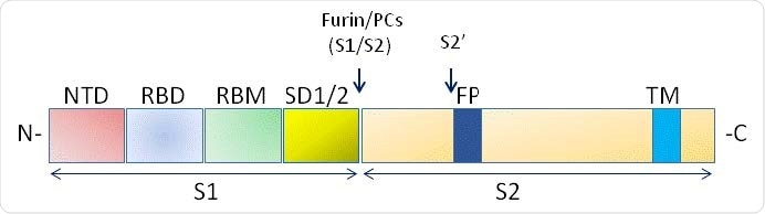 Schematic domain representation of spike glycoprotein, including functional domains in S1 subunit (NTD, N-terminal domain; RBD, receptor-binding domain; RBM, receptor-binding; SD1/2: subdomain 1 and 2) and in S2 subunit (FP, fusion peptide; TM, transmembrane domain. The N and CT terminal domains are indicated. Arrows denote the protease cleavage sites. PCs: Proprotein convertases.