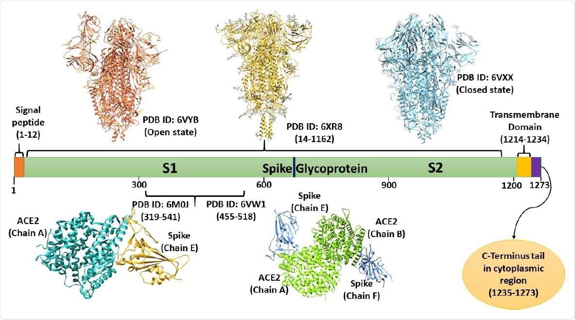 Domain architecture of spike Glycoprotein: depiction of available structures in open and closed states, transmembrane domain, and cytoplasmic C-terminal tail (based on UniProt database).