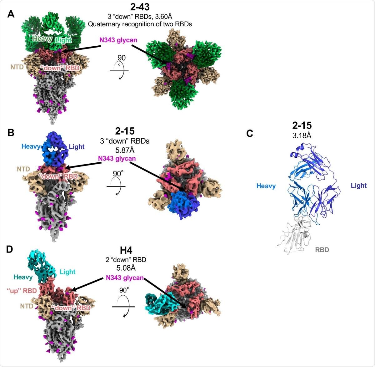 Las estructuras de tres anticuerpos VH1-2 neutralizantes del SARS-CoV-2 revelan tanto